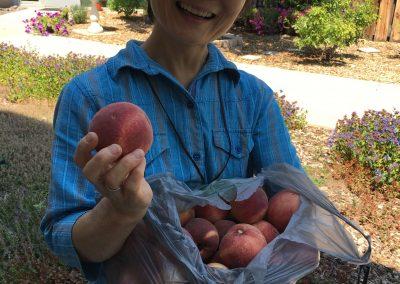 peach harvest 2